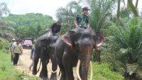 Populasi Gajah Sumatera di Aceh dan Penanganannya